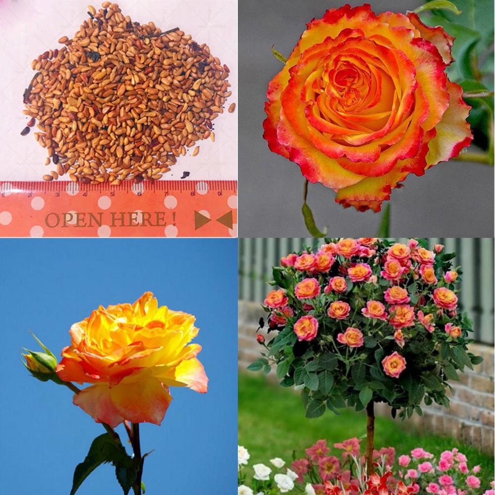 Orange Rose Flower Seeds 50 SEEDS