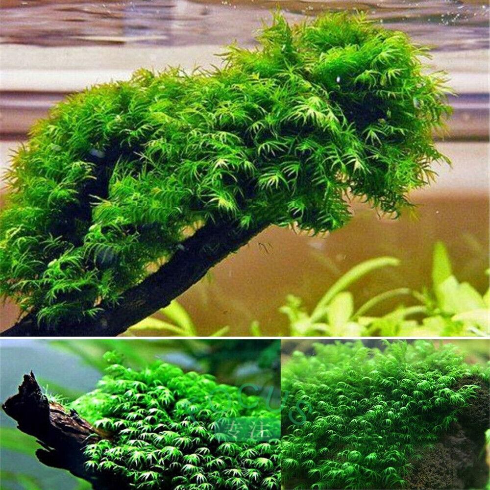 500PCS Pearl Moss Seeds Ornament Plants Water Grass Seeds Live Aquarium Plants