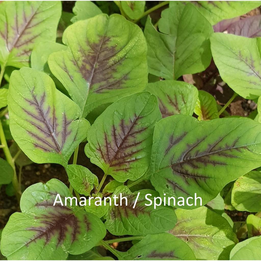 2000 Red Green Spinach Amaranth Batik Bayam Seeds Fr Sg Shopee Singapore