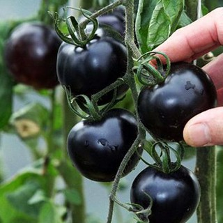 Giant Green Round Eggplant Vegetable 21 Seeds Liveseeds